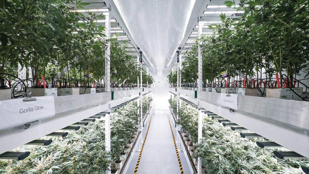 CBD Buds light cannabis Sverige
