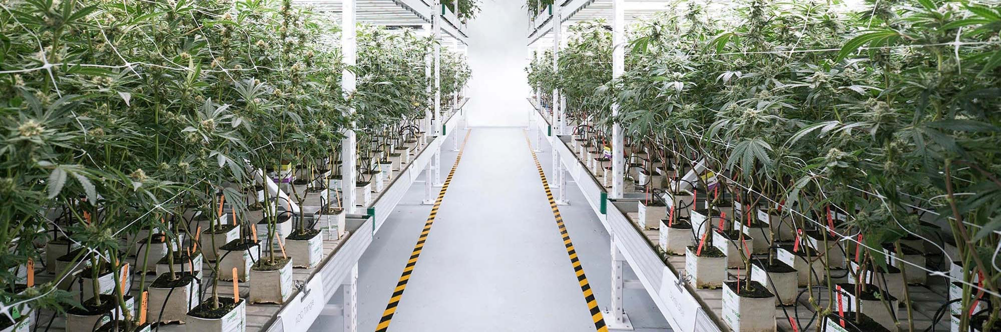 Cannabis Growing wholesale