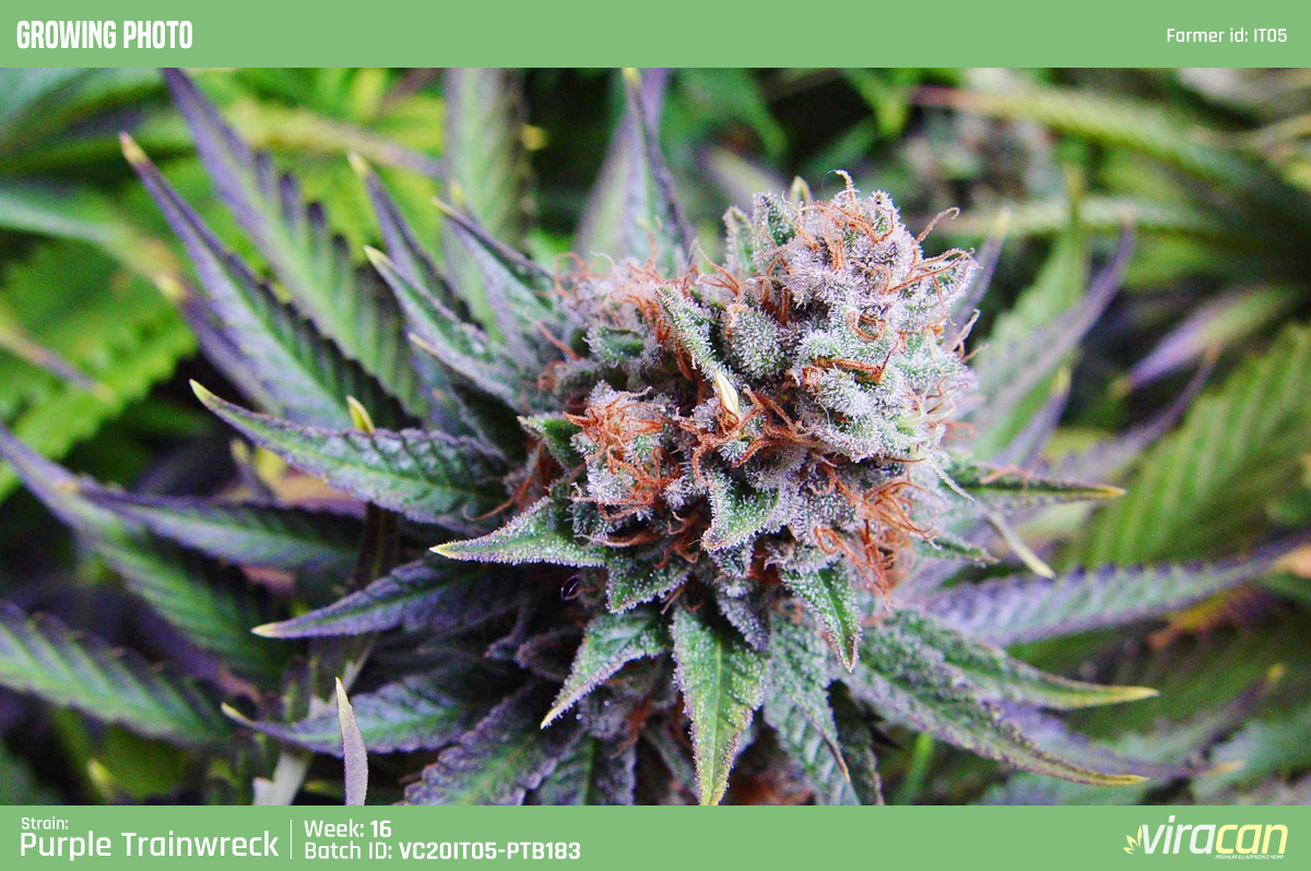 CBD Wholesale viracan cannabis Purple trainwreck