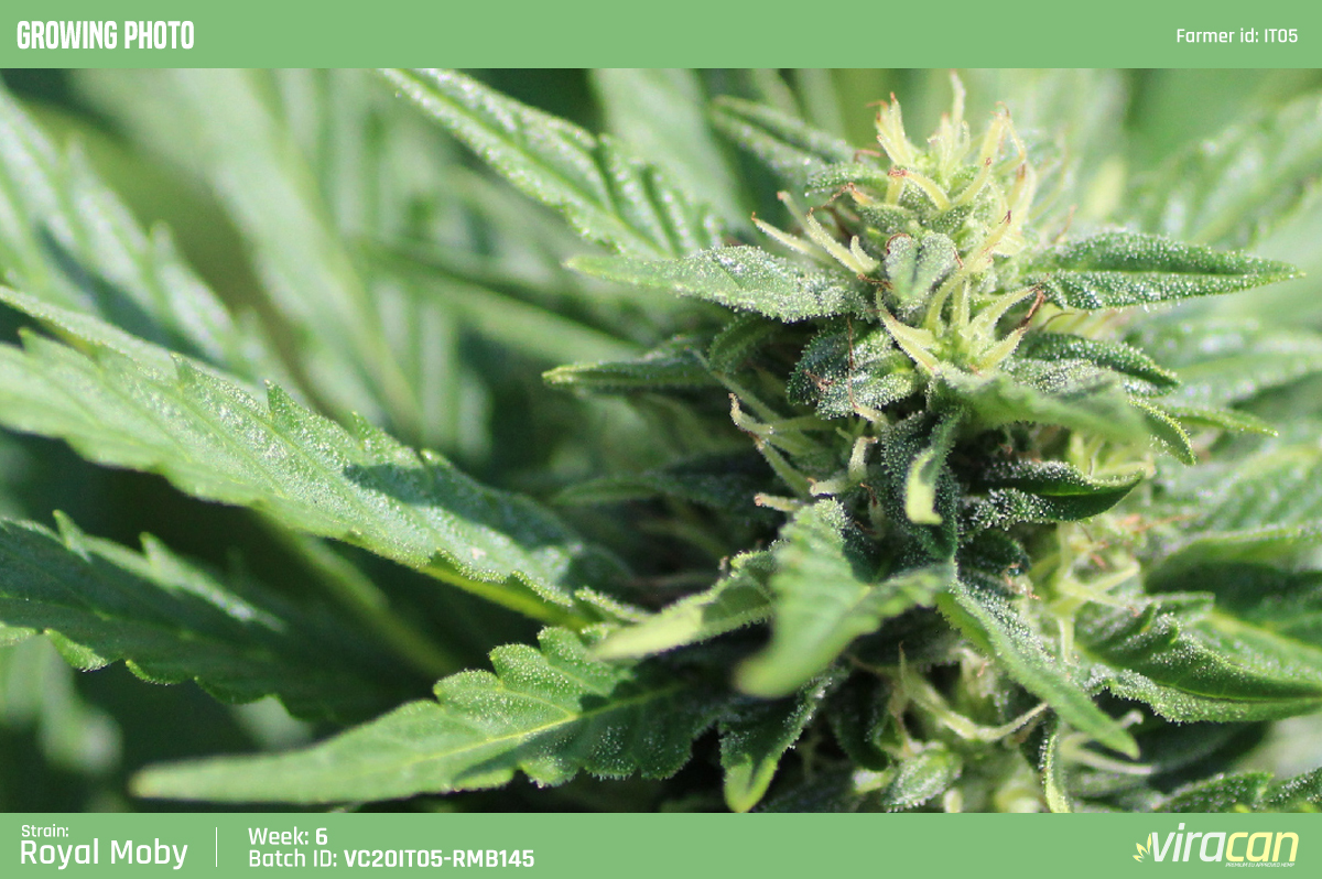 CBD Cannabis Wholesale Viracan Growing Photo